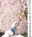 수양 벚나무와 하얀 강아지 ① 47137706