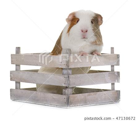 guinea pig in studio 47138672