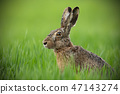 Portrait of brown hare with clear blurred green background. 47143274