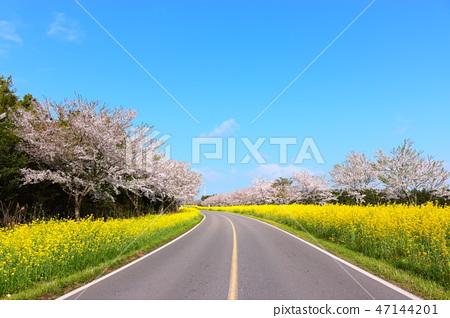 녹산로,벚꽃,유채꽃,도로, 47144201