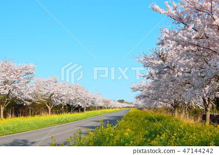 녹산로,벚꽃,유채꽃,도로, 47144242