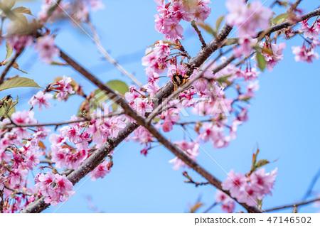 櫻花花愛十順十種開花的花園櫻花櫻花 47146502