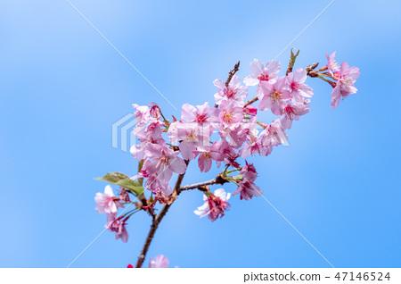 櫻花花愛十順十種開花的花園櫻花櫻花 47146524