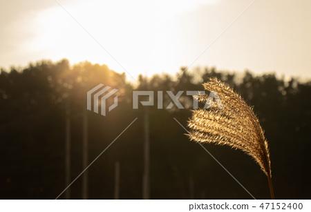 해질녘 황금빛 억새, 가을 겨울 풍경 47152400