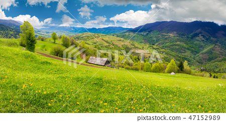 dandelions on rural field in mountains 47152989