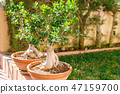 Bonsai trees 47159700