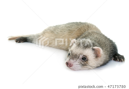 ferret in studio 47173780