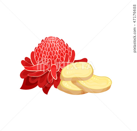 Red ginger flower and three slices of root. Natural and healthy product. Cooking ingredient. Flat 47176688