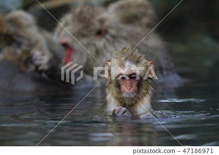 지고 쿠 다니 야생 원숭이 공 원의 스노우 몽키 47186971