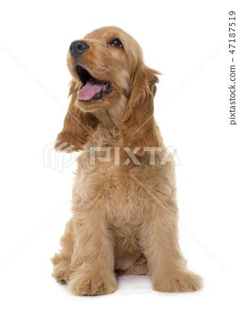 puppy cocker spaniel in studio 47187519