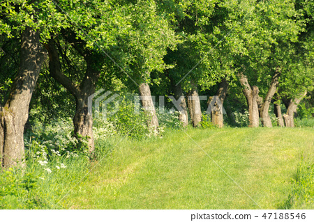 row of trees along the meadow 47188546