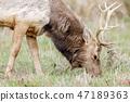 Tule Elk Bull Adult Grazing 47189363