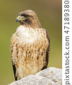 Red-tailed Hawk, Adult 47189380