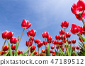 Beautiful tulips with blue sky background 47189512