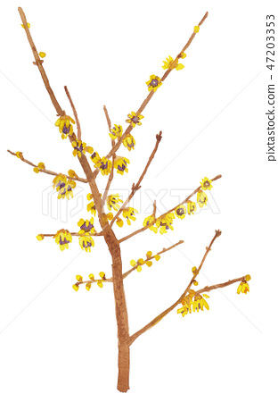 Chimonanthus praecox 로우 바이 47203353