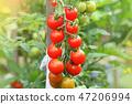櫻桃 水果 西紅柿 47206994