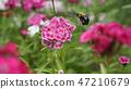 開花在春天的野花 47210679