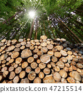 Wooden Logs with pine woodland and sunbeams 47215514