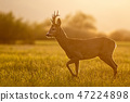 Roe deer, capreolus capreolus, buck in spring time at sunset. 47224898