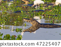 Caiman floating on Pantanal, Brazil 47225407