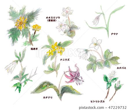盛開在佐渡的春天野花 47229732