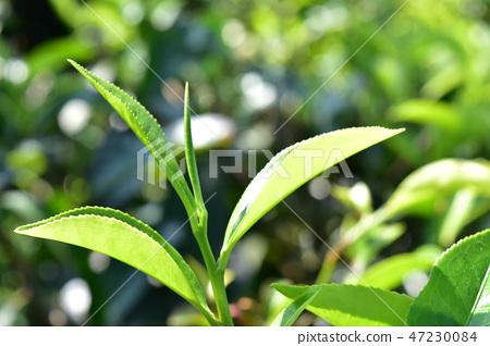 斯里蘭卡茶葉核心芽金色尖端努瓦拉地區Dinbra區錫蘭 47230084
