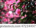 동백나무 47234497