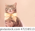 Beautiful gray tabby cat with a yellow bow-knot. 47238513