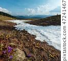 Purple Crocus flowers on spring mountain 47241467