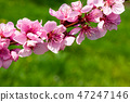 Peach blossom over green background 47247146