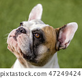 Multicolored French Bulldog female looking up 47249424