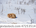 睡在Notsuke半島(北海道·Notsuke半島)的雪原上的Kitakitsune 47253514