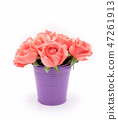 Beautiful pink rose flower 47261913