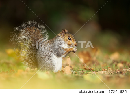 Grey squirrel eating a nut in the meadow 47264626