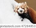 小熊猫 47264853