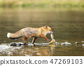 Young rex fox (Vulpes vulpes) with catch fish prey 47269103