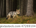 Canis lupus - Young cub Grey wolf walk in forest 47269104