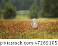 Eurasian wolf sniffing on meadow - Canis lupus 47269105