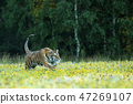 Tiger with yellow flowers - Pathera tigris altaica 47269107