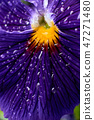 pansy flower with drops closeup 47271480