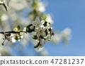 Apple blossom over nature background 47281237