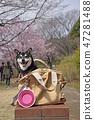 검은 시바견, 검정 시바견, 벚꽃 47281488