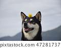 黑清波 柴犬 叢林犬 47281737