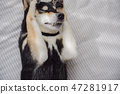 黑清波 柴犬 叢林犬 47281917