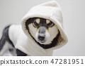 黑清波 柴犬 叢林犬 47281951