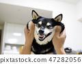 黑清波 柴犬 叢林犬 47282056