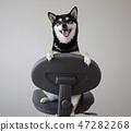 黑清波 柴犬 叢林犬 47282268
