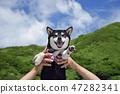 黑清波 柴犬 叢林犬 47282341