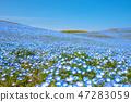 Nemophila日立海滩公园茨城县 47283059