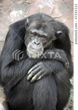 Portrait of a sad chimpanzee 47283122